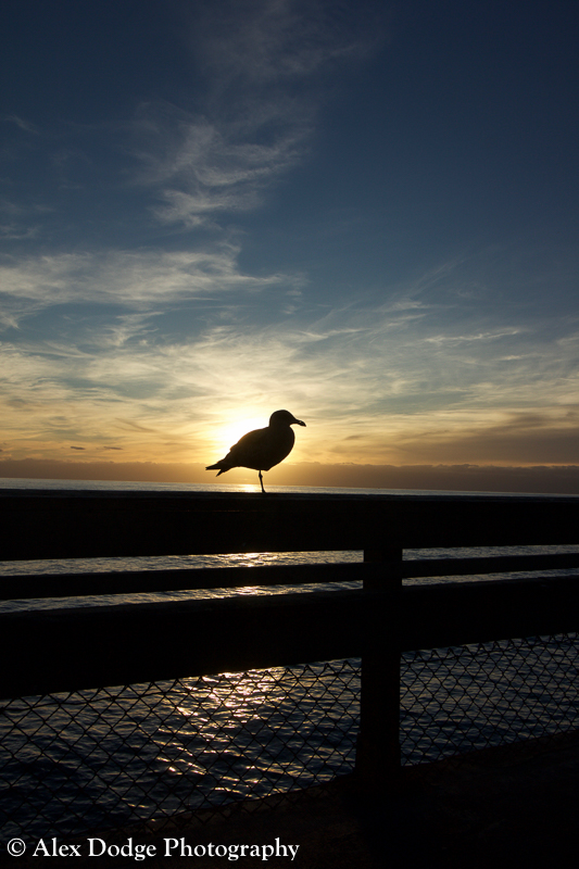 Seagull silohouette at sunset