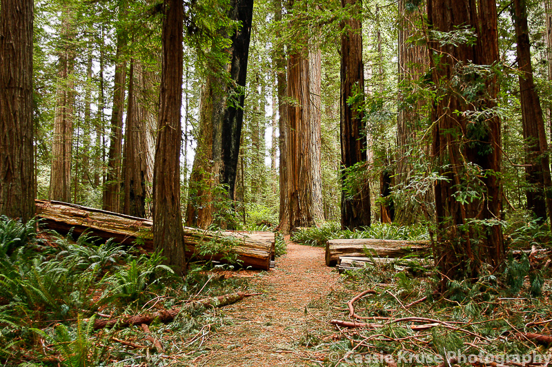 california-redwoods1
