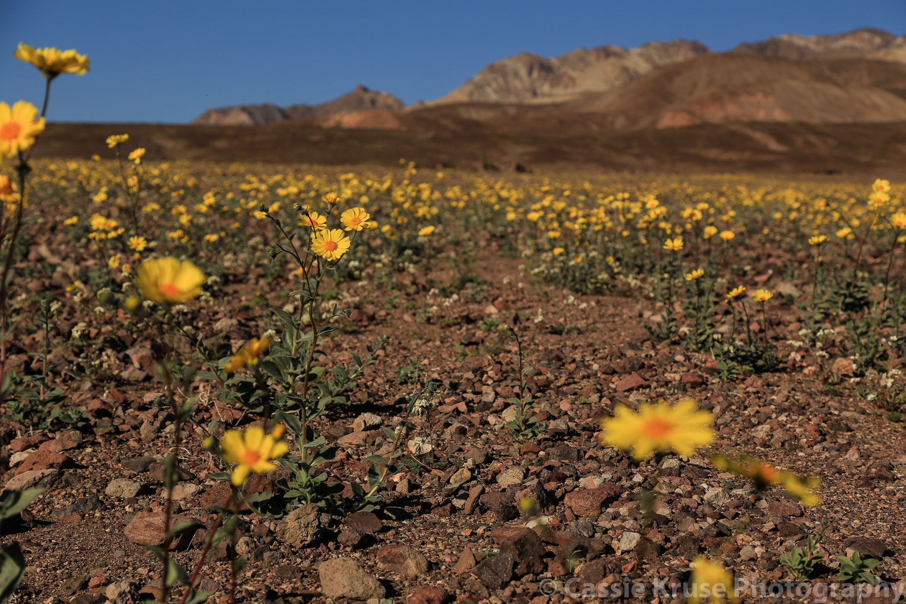 wild-flowers-at-death-valley